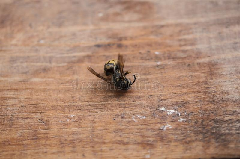 macro of a dead wasp royalty free stock image