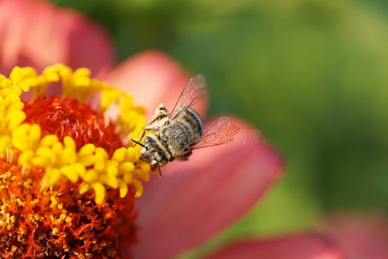 Macro del albige blanco-gris rayado caucásico mullido de Amegilla de la abeja fotos de archivo