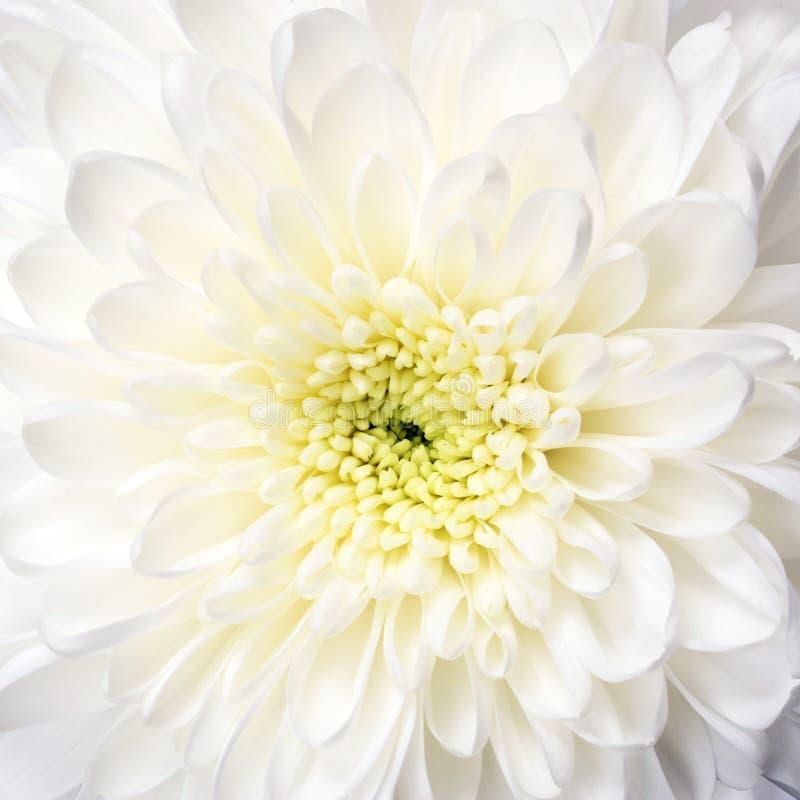 Macro del aster de la flor blanca fotos de archivo