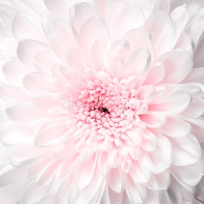 Macro del aster de la flor blanca imágenes de archivo libres de regalías