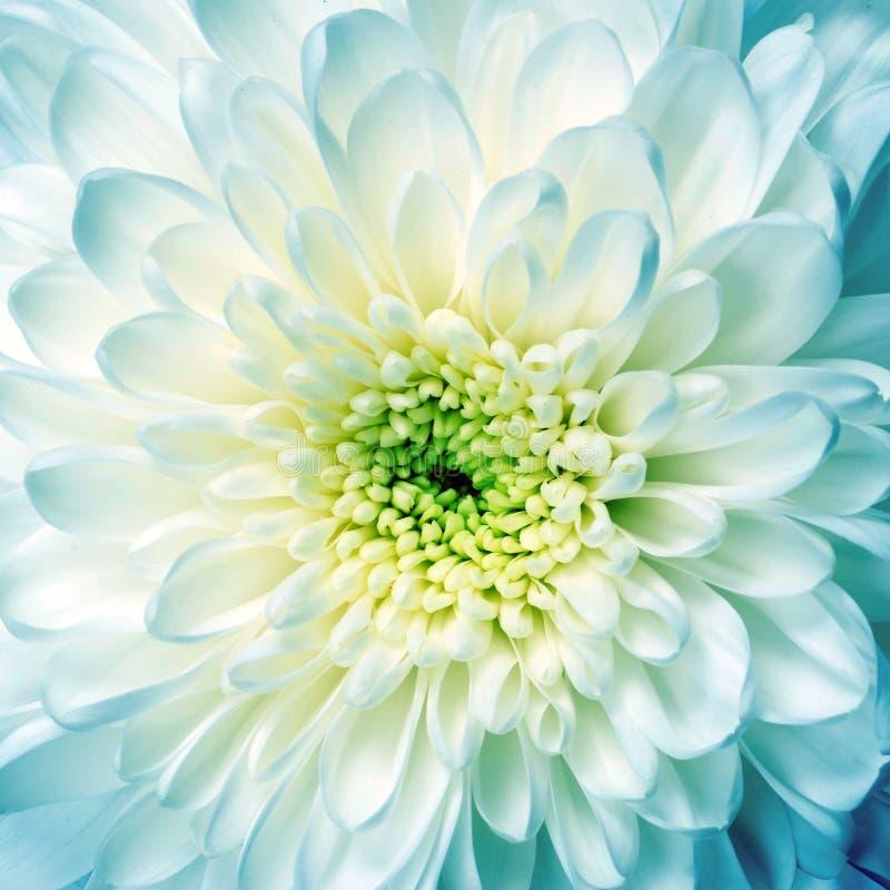 Macro del aster de la flor blanca fotografía de archivo