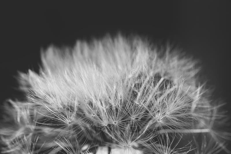 Macro del diente de león de la semilla imagen de archivo