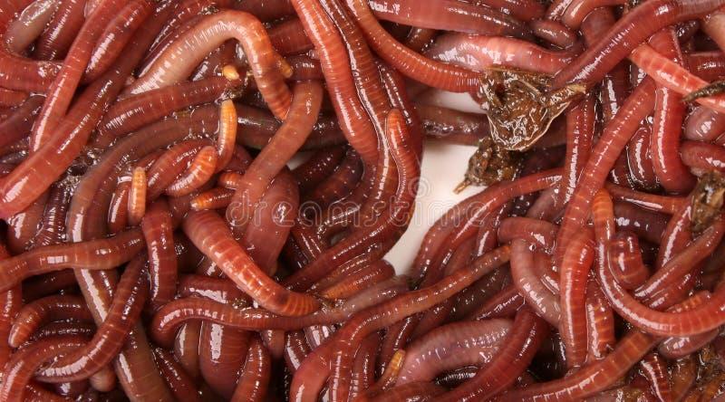 Macro del Earthworm fotografie stock