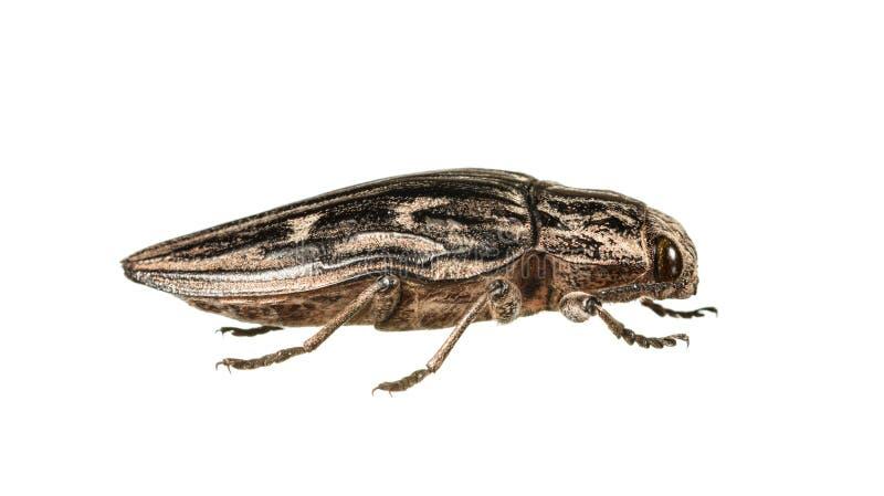 Macro del escarabajo del perforador fotografía de archivo