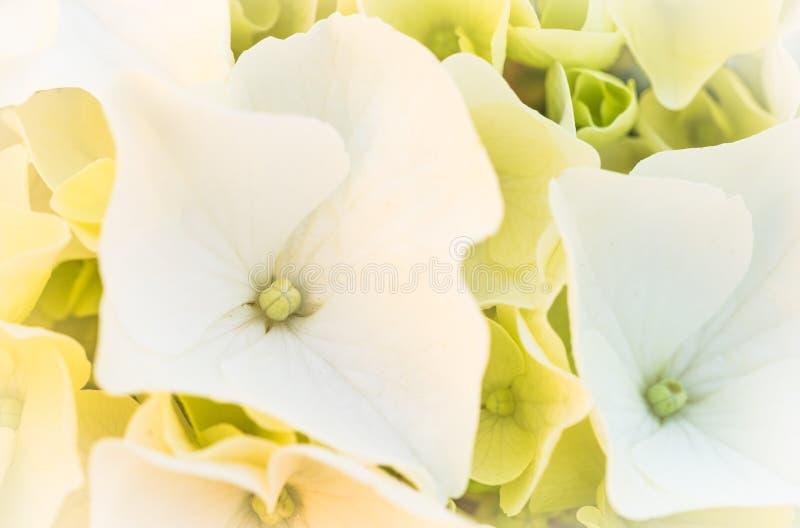 Macro del fiore bianco del fiore dell'ortensia immagini stock