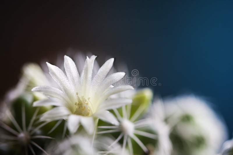 Macro del fiore del cactus immagine stock