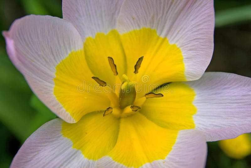 Macro del fiore del tulipano fotografie stock