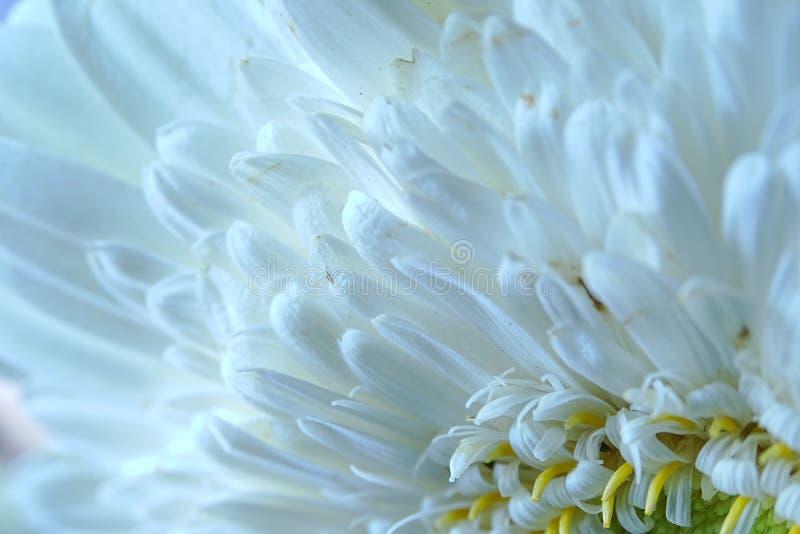 Macro del fiore della gerbera fotografie stock