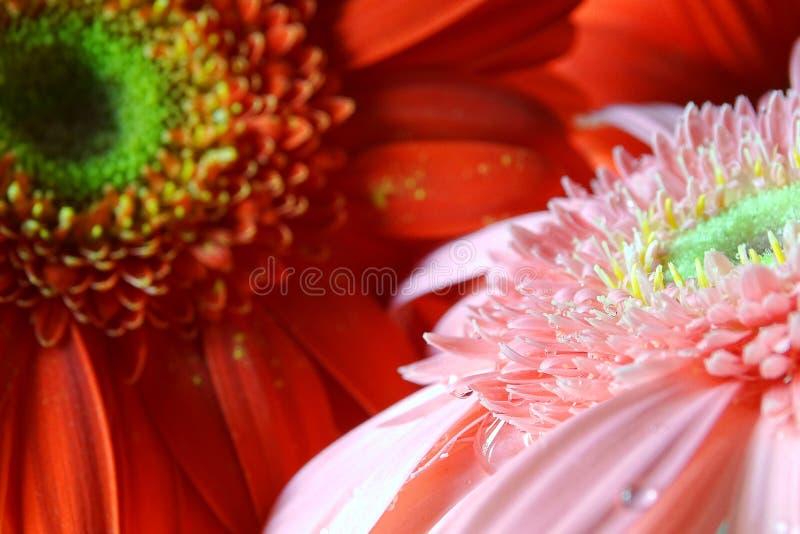 Macro del fiore della gerbera immagini stock