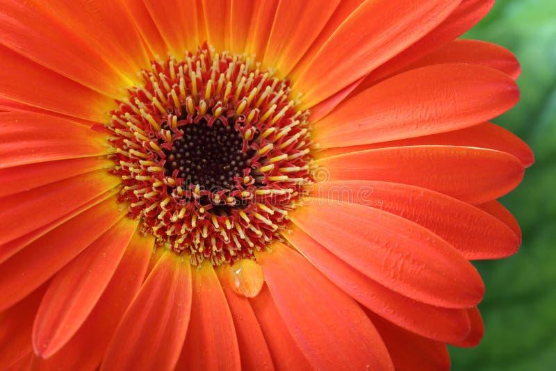 Macro del fiore della gerbera con goccia di acqua fotografia stock