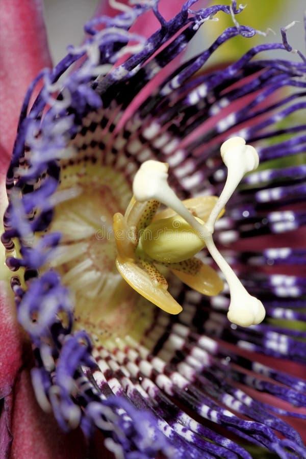 Macro del fiore di passione fotografia stock