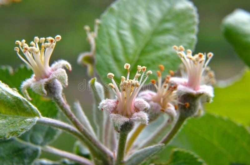 Macro del flor del árbol frutal fotos de archivo libres de regalías