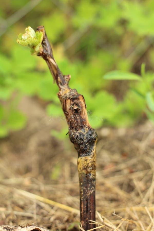 Macro del germoglio dell'uva in suolo sopra il fondo dell'erba al giorno di estate soleggiato immagine stock libera da diritti