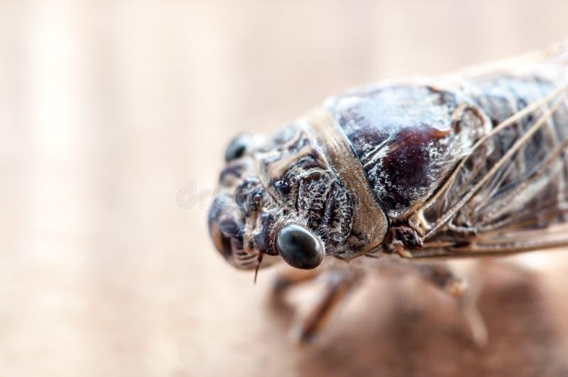 Macro del insecto de la cigarra imagen de archivo