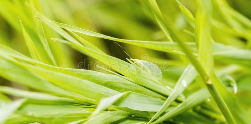 Macro del Lacewing verde Chrysopa spp en las hojas verdes fotos de archivo
