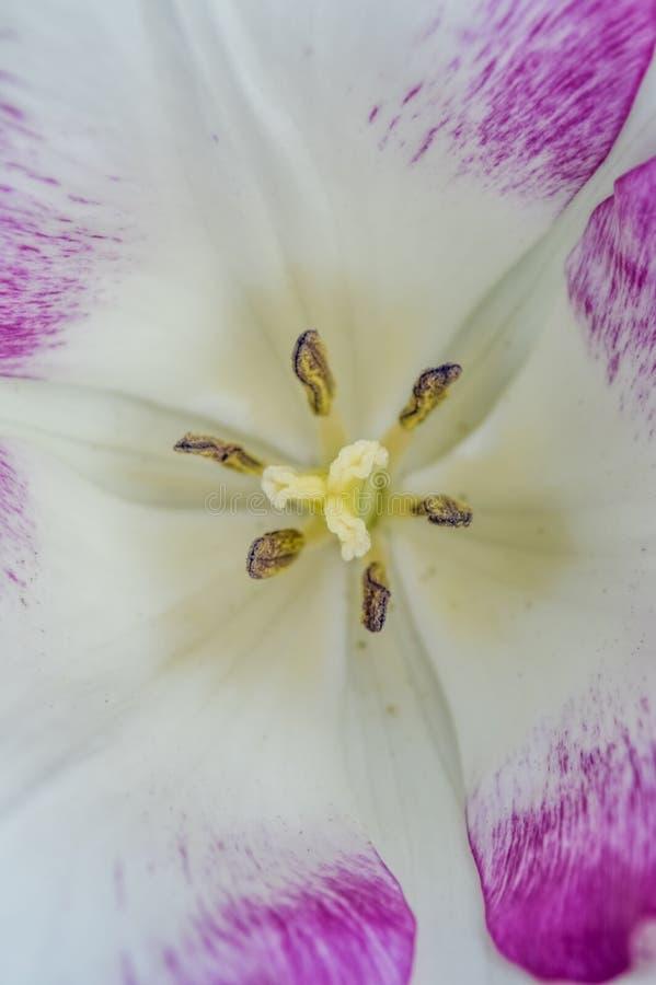 Macro del marchio di infamia bianco e porpora del tulipano fotografia stock libera da diritti