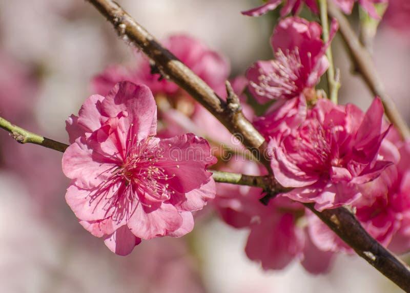 Macro del melocotón floreciente rosado imagen de archivo