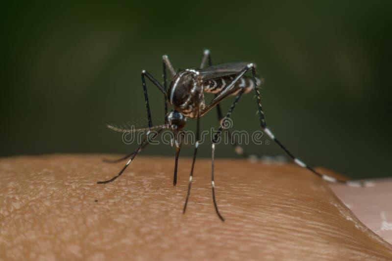 Macro del mosquito (aegypti del aedes) que chupa sangre foto de archivo libre de regalías