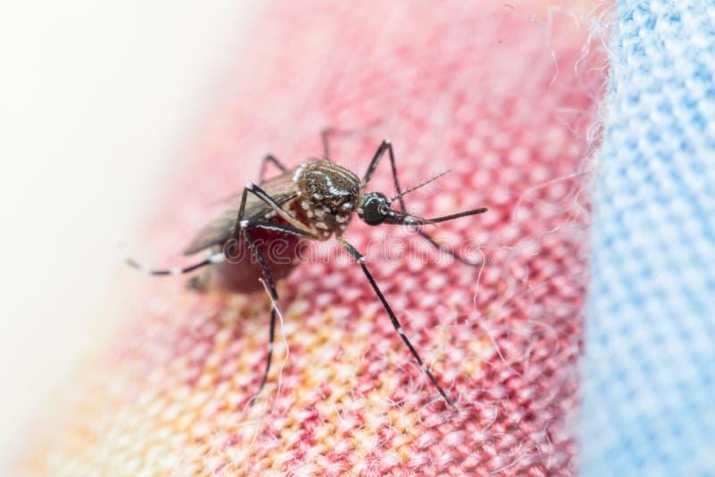 Macro del mosquito (aegypti del aedes) que chupa sangre fotografía de archivo