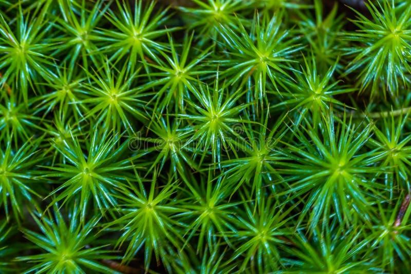 Macro del muschio dei nutans di Pohlia con le capsule verdi della spora sui gambi rossi immagine stock