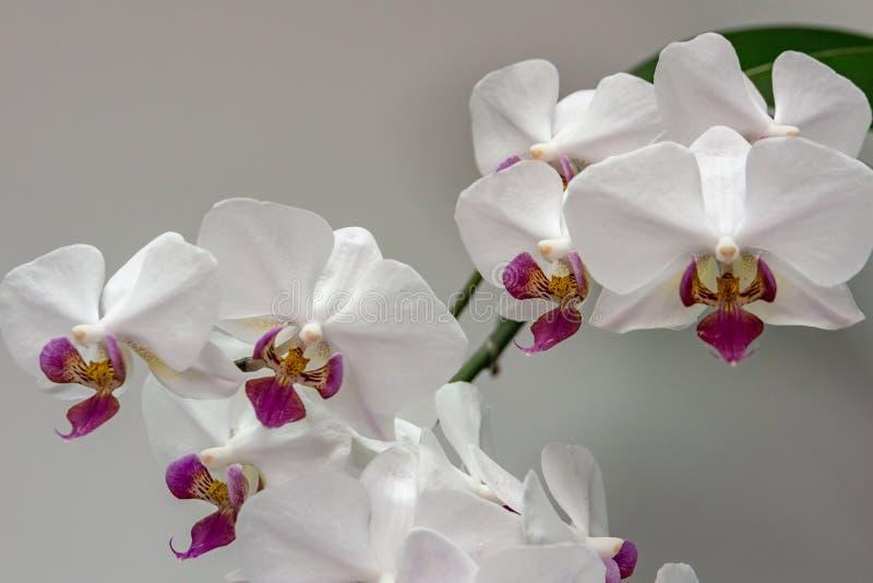 Macro del Phalaenopsis blanco 'Pandora 'de la flor de la orquídea de la rama, conocida como la orquídea de polilla o el Phal imagenes de archivo