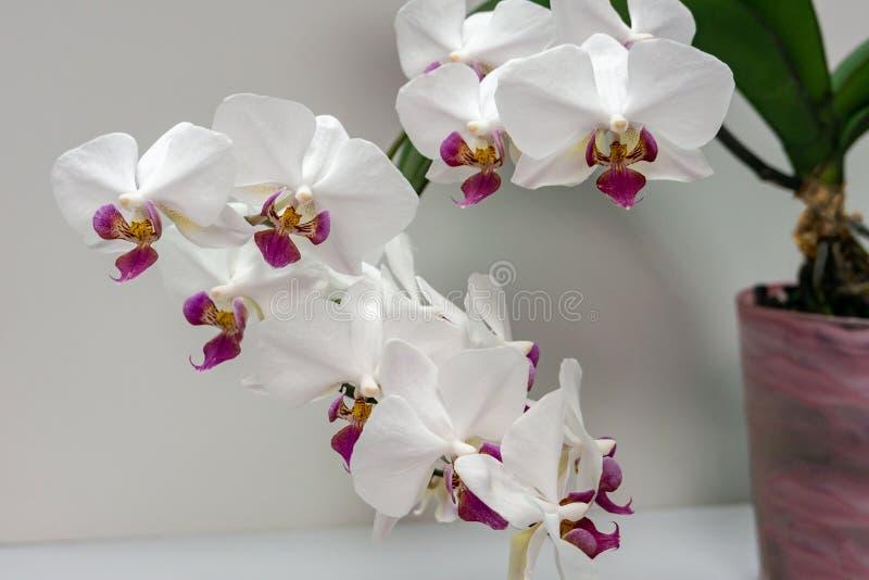 Macro del Phalaenopsis blanco 'Pandora 'de la flor de la orquídea de la rama, conocida como la orquídea de polilla o el Phal Flor imagen de archivo libre de regalías