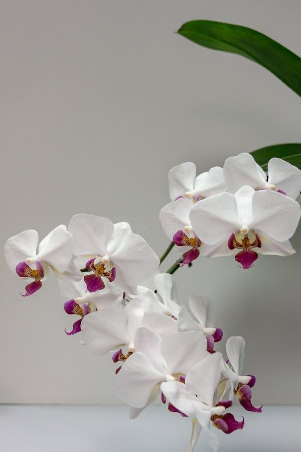 Macro del Phalaenopsis blanco 'Pandora 'de la flor de la orquídea de la rama, imagen de archivo