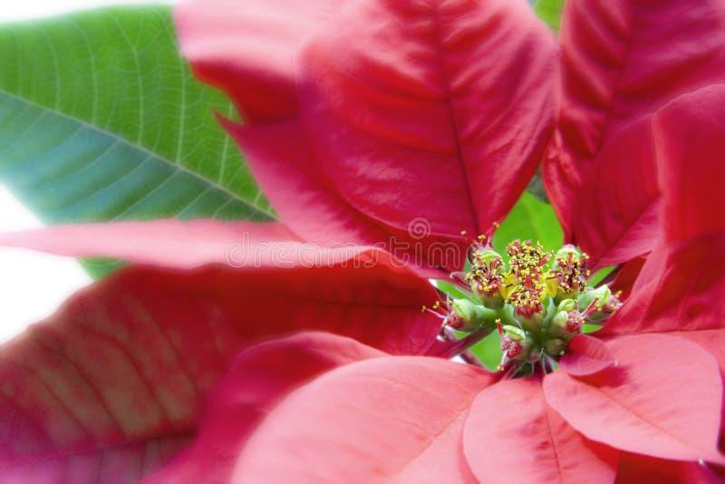 Macro del Poinsettia sobre blanco foto de archivo libre de regalías