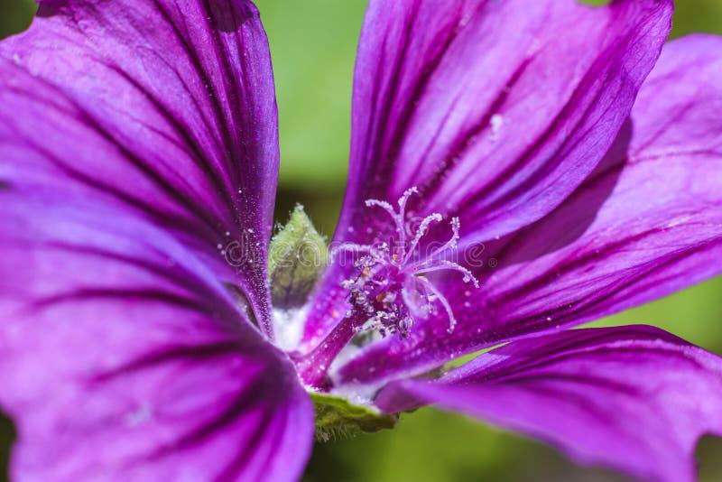 Macro del polen en los estambres en una flor violeta hermosa imagen de archivo