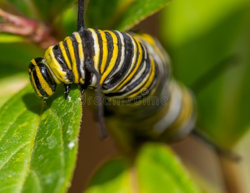Macro del primer de la oruga del monarca snacking en las hojas del milkweed - en Minnesota imagen de archivo