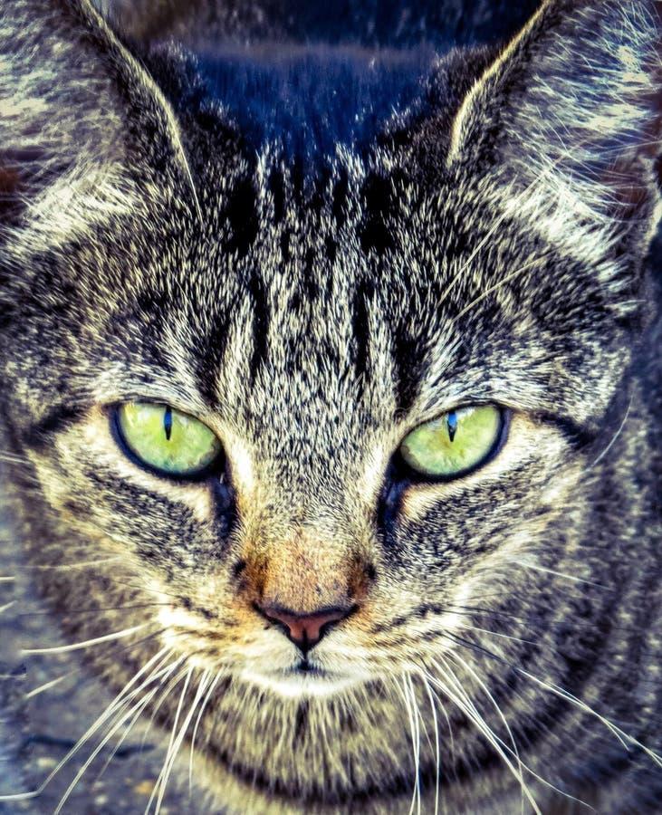 Macro del primo piano degli occhi verdi di Tabby Cat Looking Serious With Bright fotografia stock