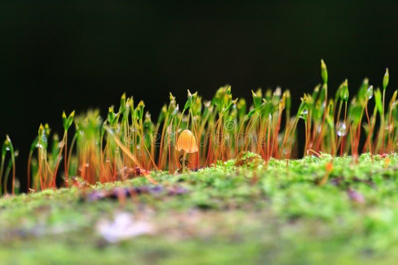 Macro del primo piano della spugna del muschio del haircap del fungo immagine stock