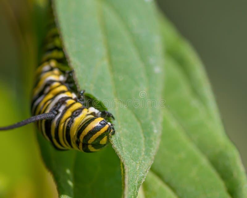 Macro del primo piano del trattore a cingoli del monarca che fa un spuntino sulle foglie del milkweed - nel Minnesota fotografie stock libere da diritti