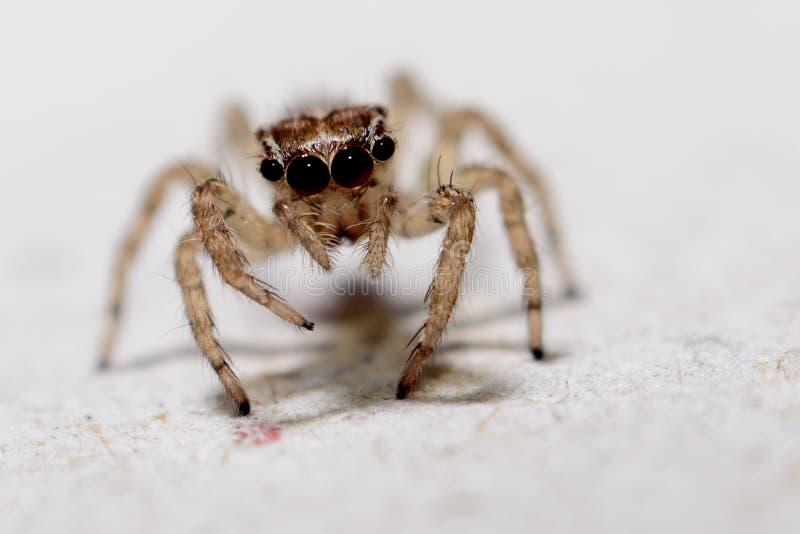 Macro del ragno fotografie stock