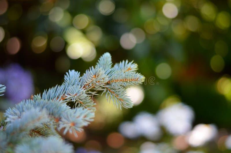 Macro del ramo e degli aghi del pino fotografie stock