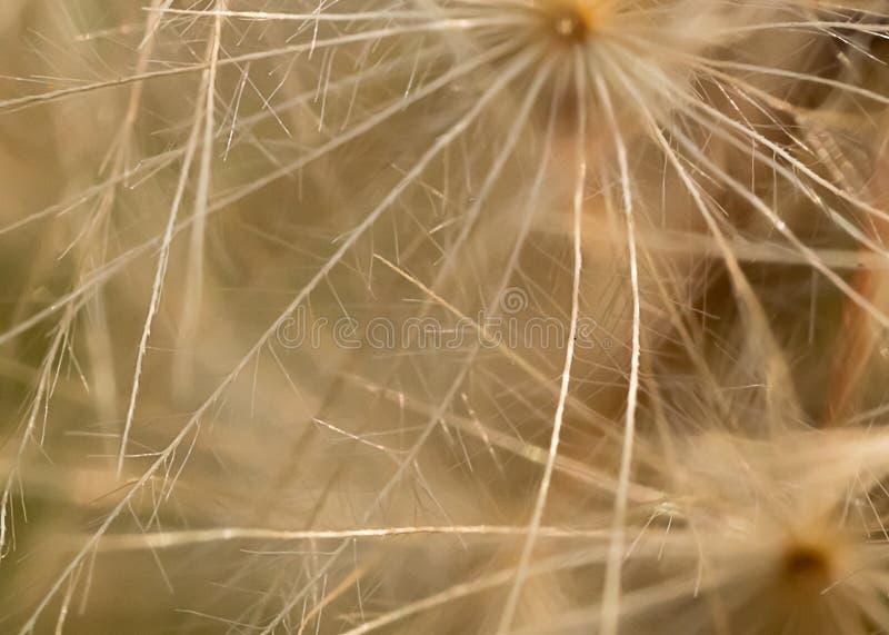 Macro del seme del dente di leone patern nel bianco immagine stock