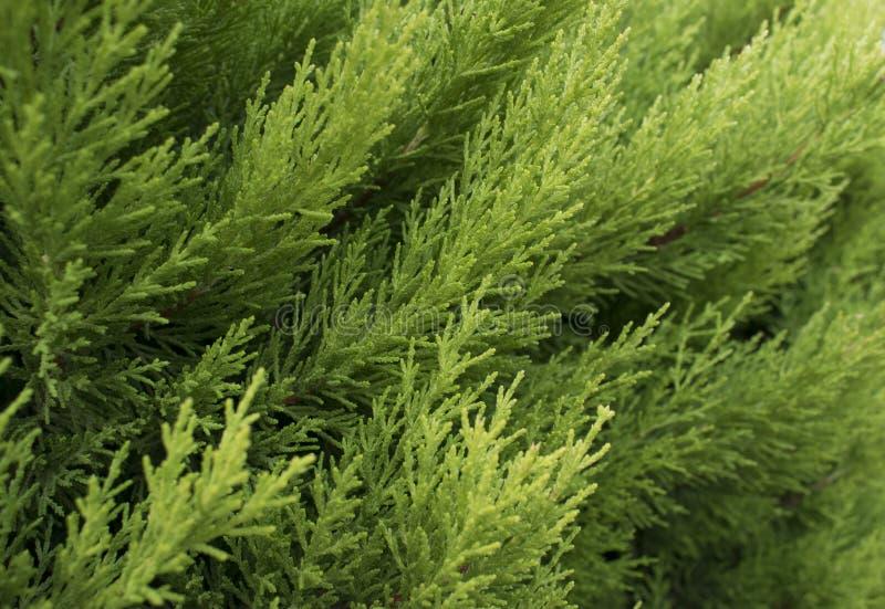 Macro del thuja occidentalis sempreverde del ramo di albero fotografia stock libera da diritti