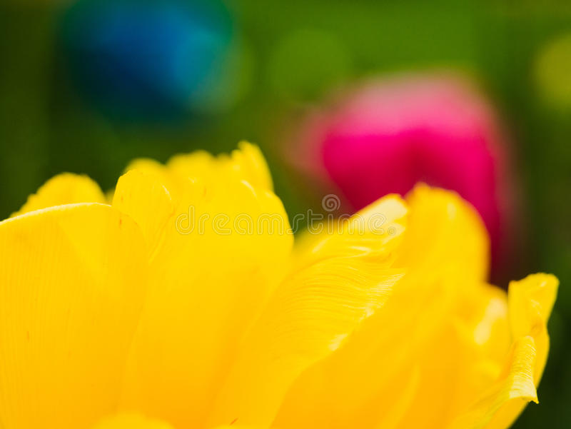 Macro del tulipano del primo piano delle antere con i grani del polline del fiore giallo del tulipano fotografia stock