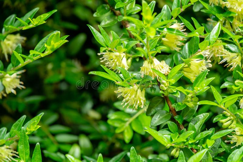 Macro of delicate cream bells blooming honeysuckle Lonicera pileata with small green leaves. Elegant natural background. Of fine texture for any design Nature stock photo
