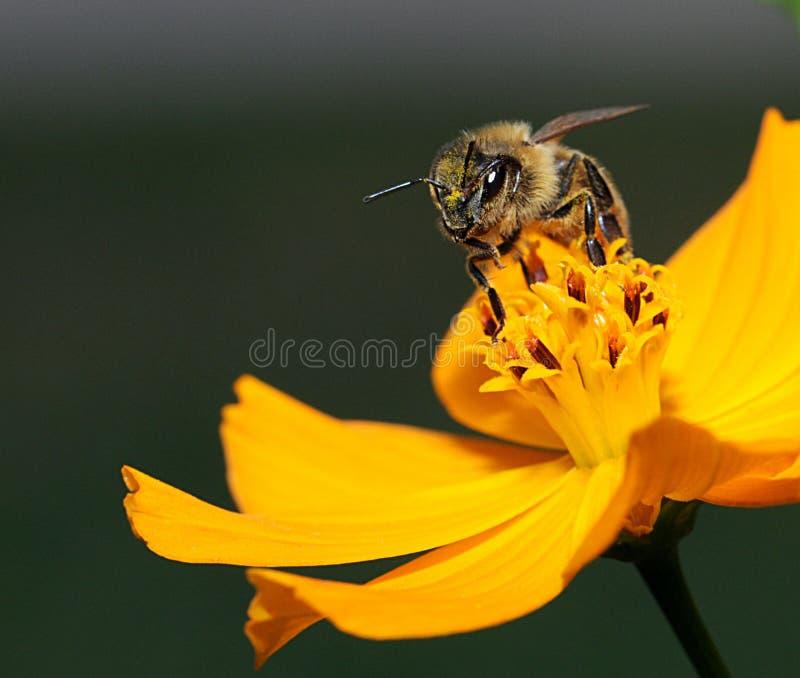 Macro dell'ape del miele fotografia stock libera da diritti