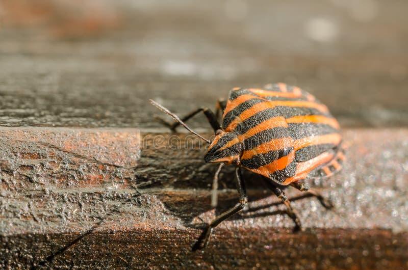 Macro dell'insetto dell'insetto dello schermo o dell'insetto di puzzo fotografie stock libere da diritti