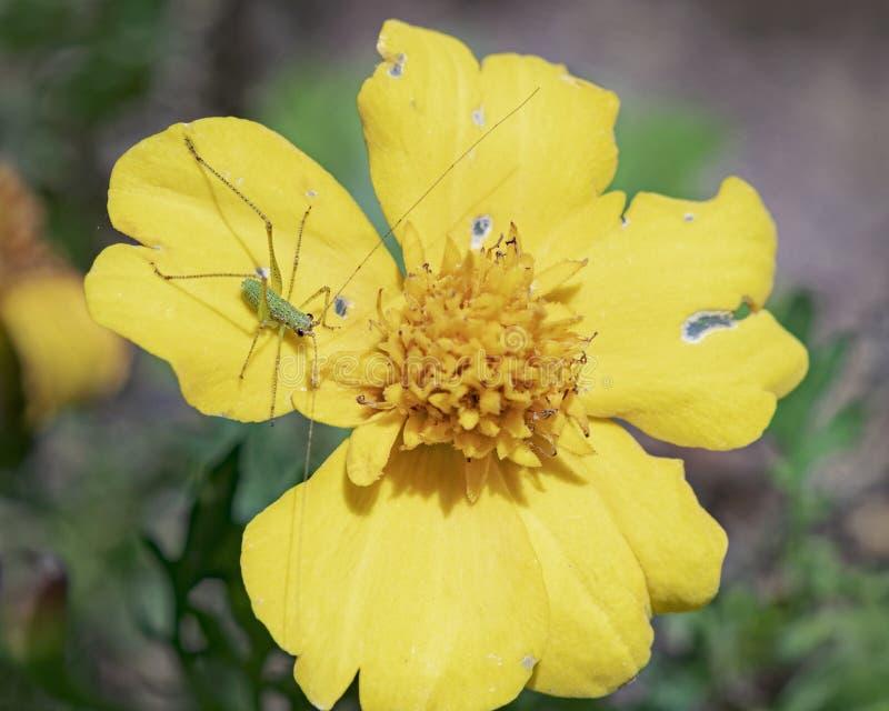 Macro della crisalide verde di Katydid su un fiore giallo immagini stock libere da diritti
