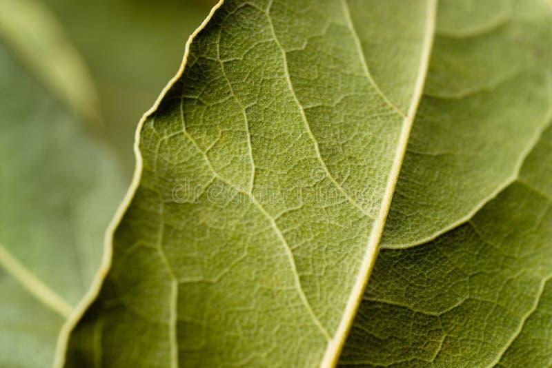 Macro della foglia di alloro. Fondo verde. fotografia stock libera da diritti