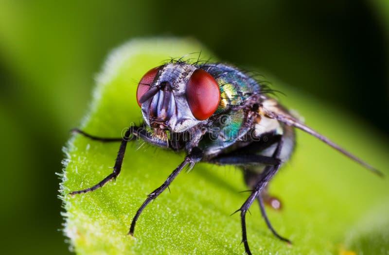 Macro della mosca immagine stock