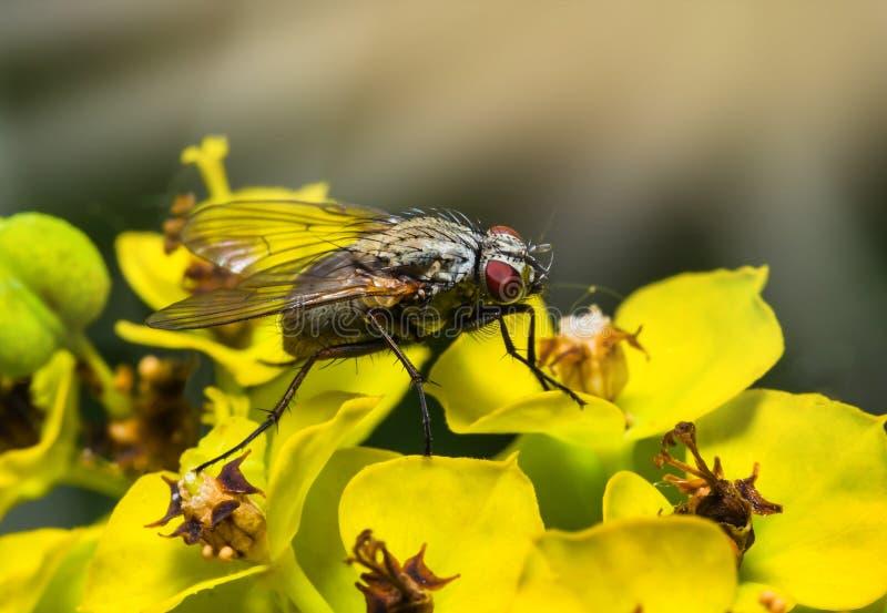 Macro della mosca dell'insetto sui fiori fotografia stock