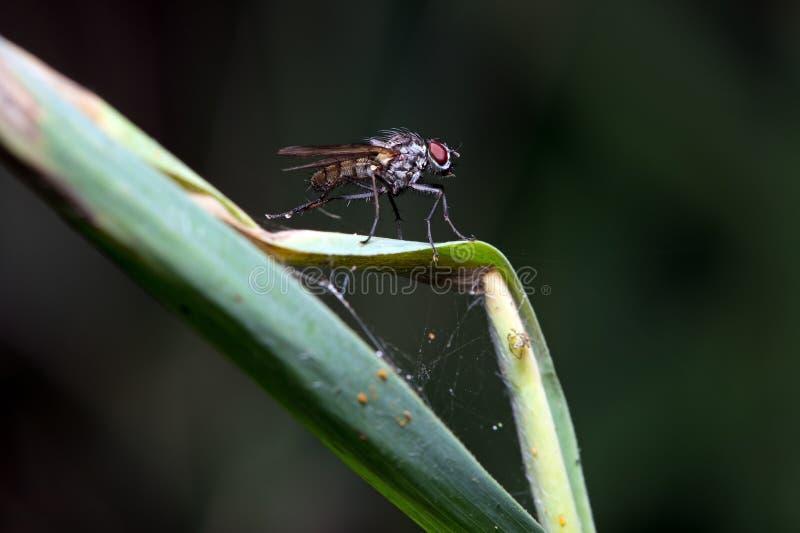 Macro della mosca stabile (stomoxys calcitrans) fotografia stock libera da diritti
