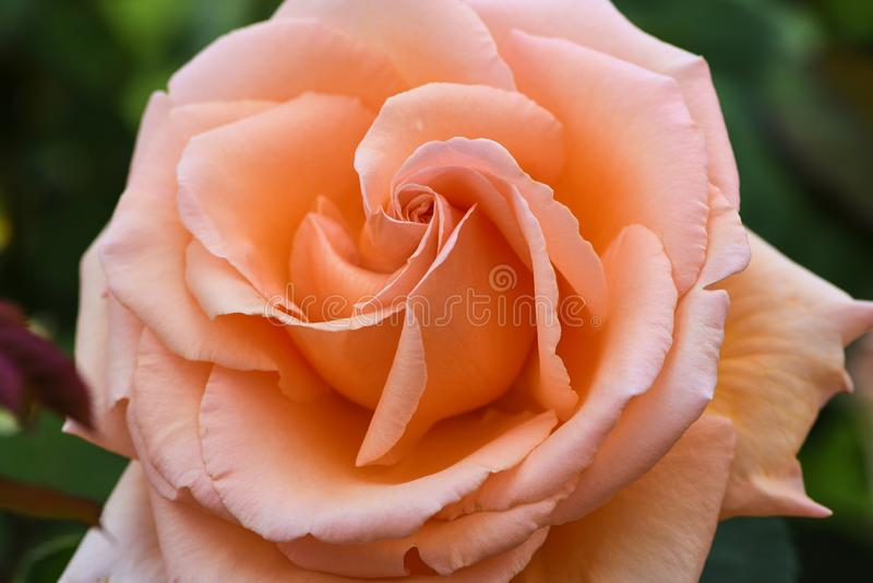 Macro della rosa arancio con il nome: sopra la luna immagine stock libera da diritti