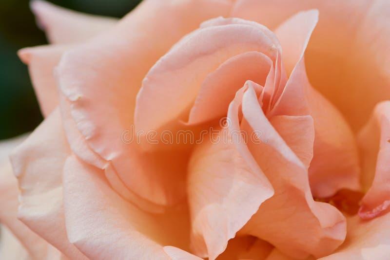 Macro della rosa arancio con il nome: sopra la luna immagine stock