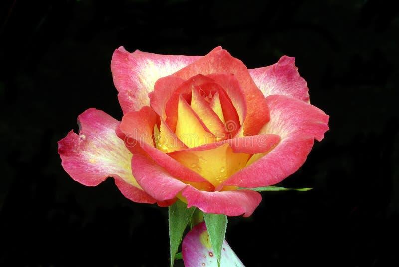 Macro della Rosa del Rainbow fotografia stock