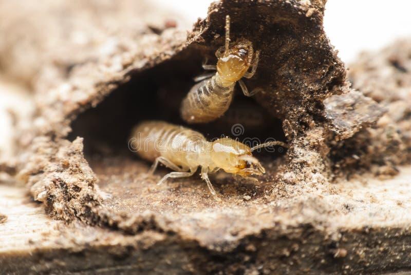 Macro della termite immagini stock libere da diritti